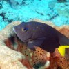 Fish Spot: Yellowtail Damselfish