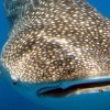 Mexico Monday – Count down for Whaleshark season 2012