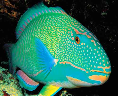 Rainbow Parrot Fish Adult