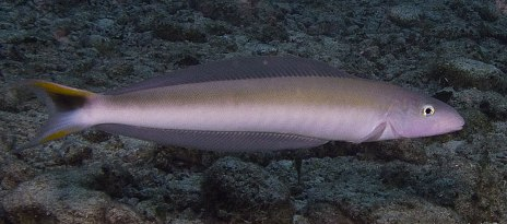 Sand Tile Fish Adult