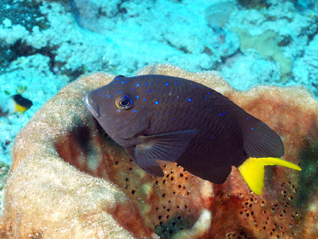 Mexican Fish Fridays Yellowtail Damsel Fish | Abyss Dive ...