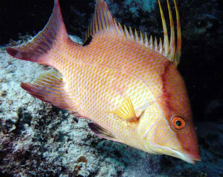 Fish spot hogfish abyss dive center playa del carmen for Scientific name of fish