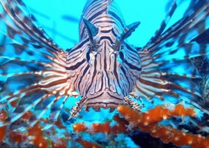 Lionfish  in Mexico and the Caribbean