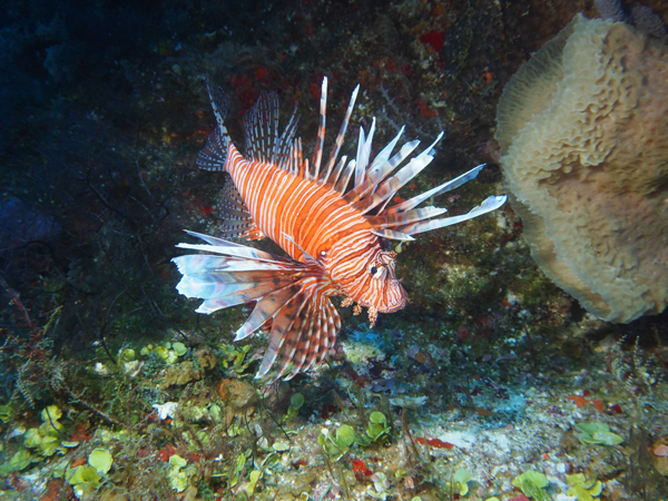 Lionfish in the Riviera Maya dive photo with an underwater camera